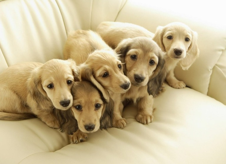 All Pets Club Puppies