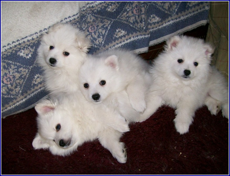 Baby American Eskimo Dogs