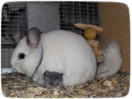 Baby Chinchillas As Pets