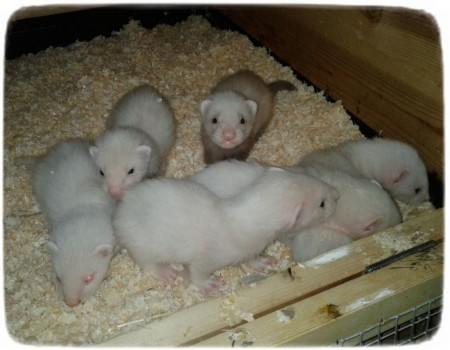 Baby Ferrets As Pets