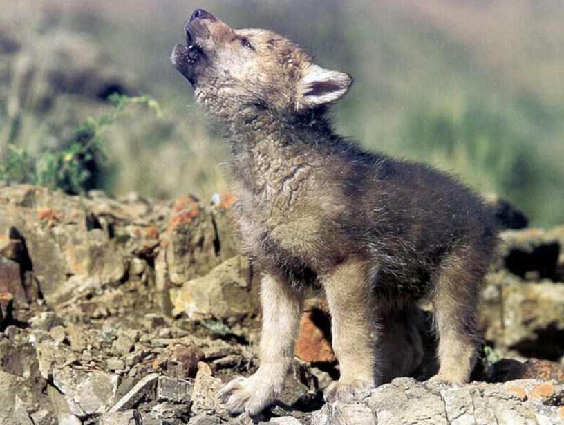 Baby Gray Wolf Pictures