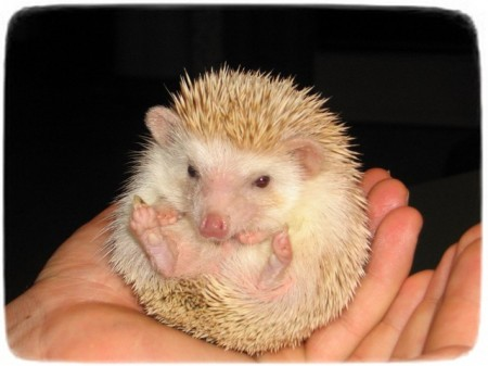 Baby Hedgehogs As Pets
