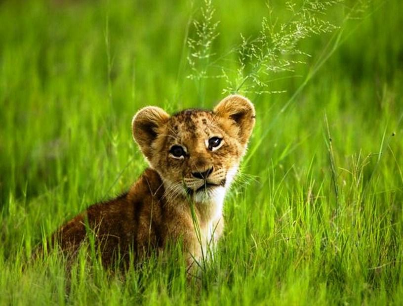 Baby Mountain Lion Cub