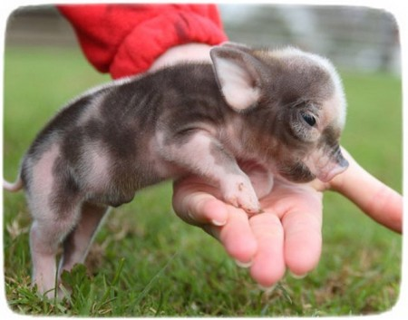 Baby Pigs As Pets