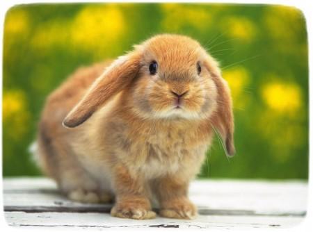 Baby Rabbits As Pets