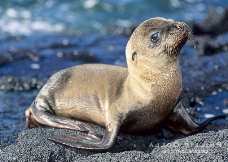 Baby Sea Lion Facts