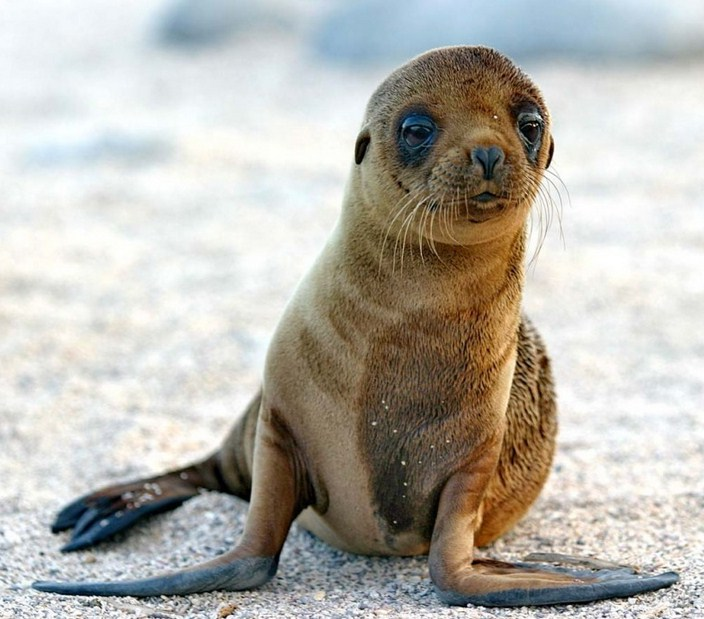 Baby Sea Lion Images