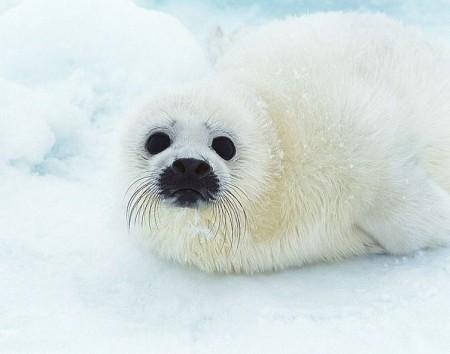 Baby Sea Lion White