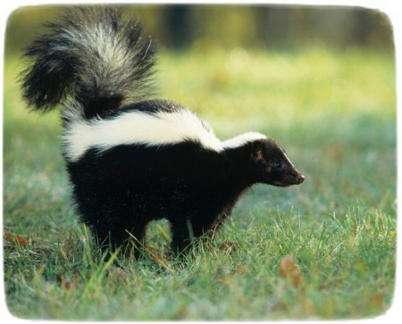 Baby Skunks As Pets
