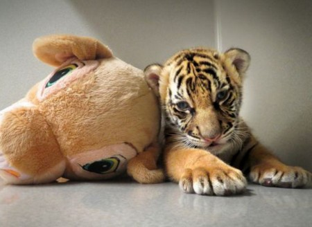 Baby Tiger Pictures Tumblr
