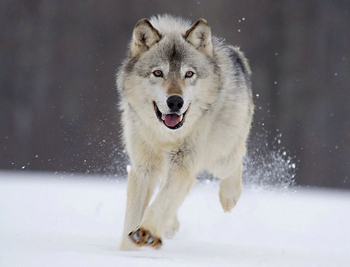 Beautiful Gray Wolf Pictures