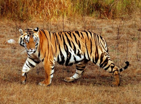 Bengal Tiger Facts And Pictures