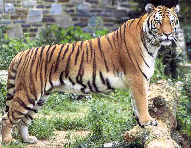 Bengal Tiger Facts For Kids
