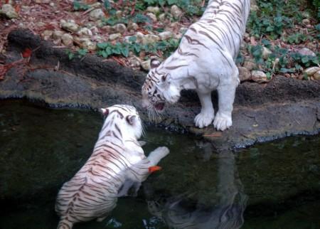 Bengal Tiger Seattle Wa