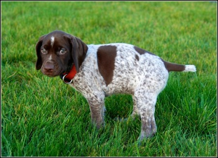 Best Bird Hunting Dogs