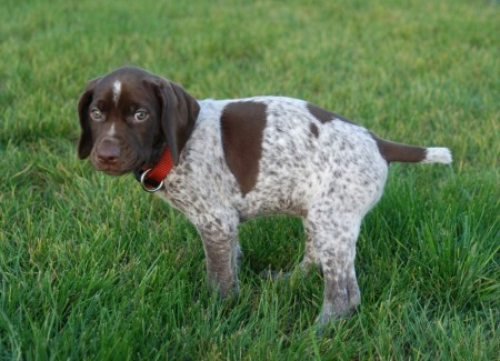 Best Hunting Dogs For Birds