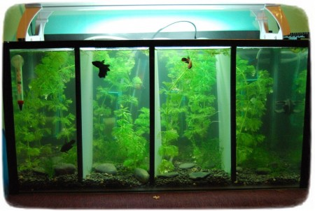Betta Fish Tanks With Dividers