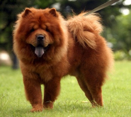 Big Lion Dog Breed