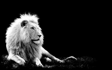 Black And White Lion Images
