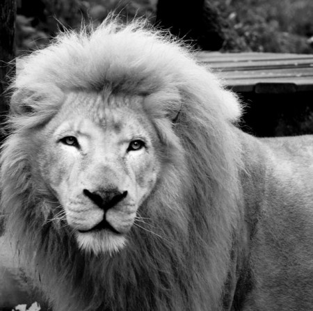 Black And White Lion Photography