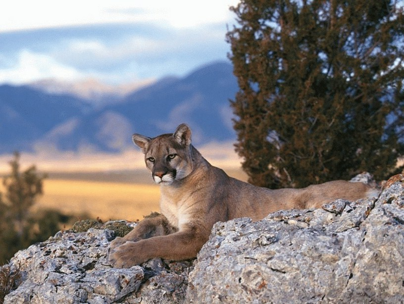 Black Mountain Lion In California