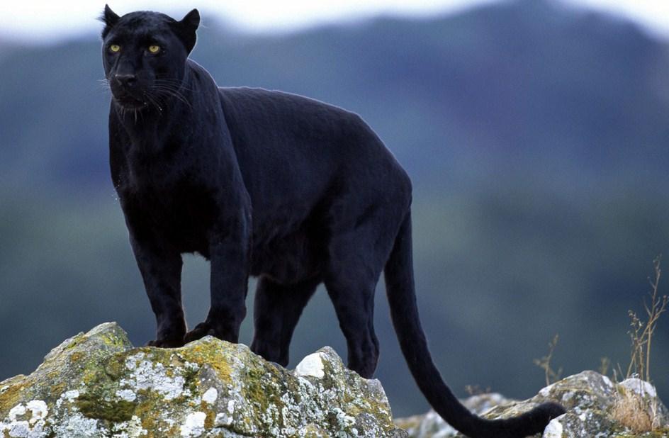 Black Mountain Lion Texas