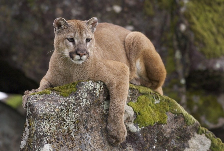 Black Mountain Lions In Pennsylvania