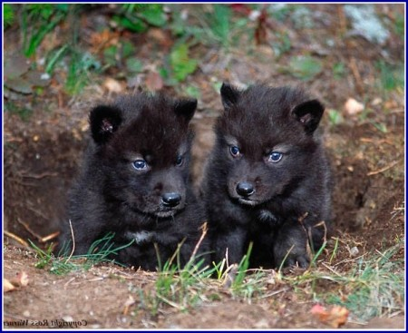 Black Wolf Dog Puppies