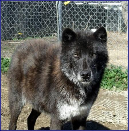 Black Wolf Hybrid Dogs