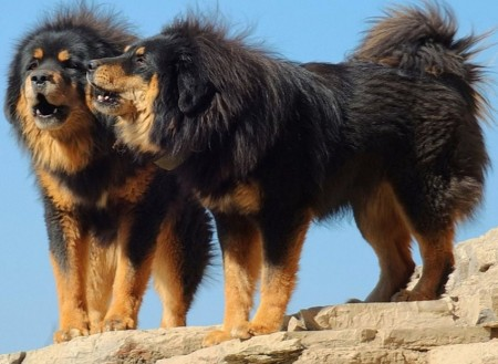 Calm Dog Breeds Large