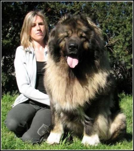 Caucasian Mountain Shepherd Dog