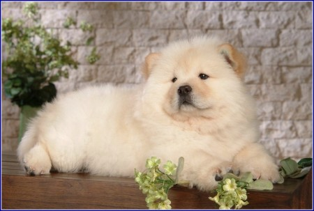 Chinese Chow Dog Breed