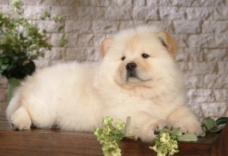 Chinese Lion Dog Breed