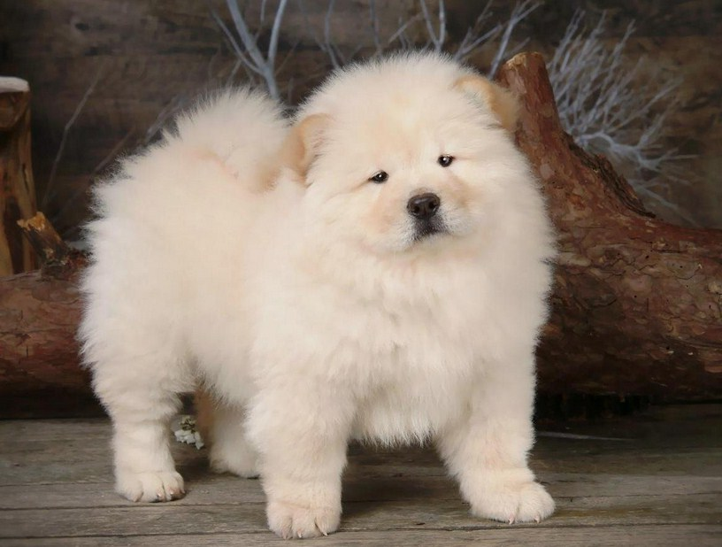 Chinese Lion Dog Puppy
