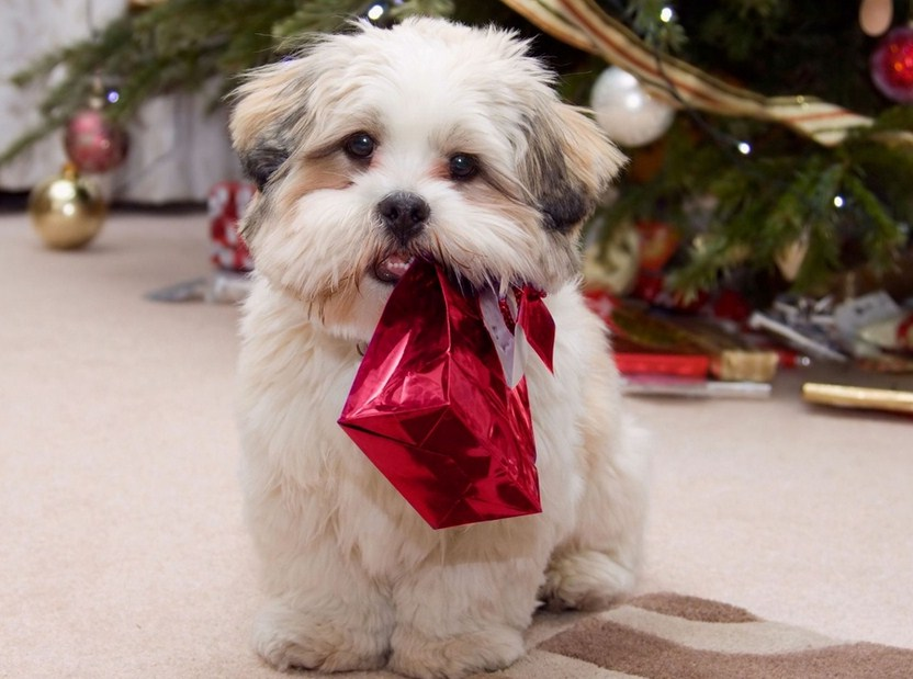 Chinese Lion Dog Shih Tzu