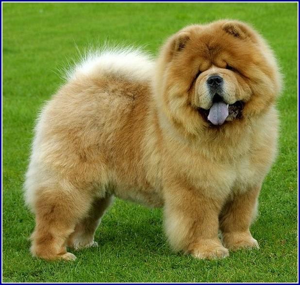 Chow Dog Breed Aggression