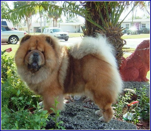 Chow Dog Breed Images