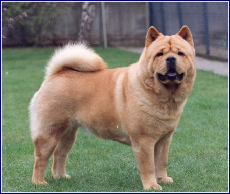 Chow Dog Breed Pictures
