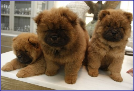 Chow Dog Breeders