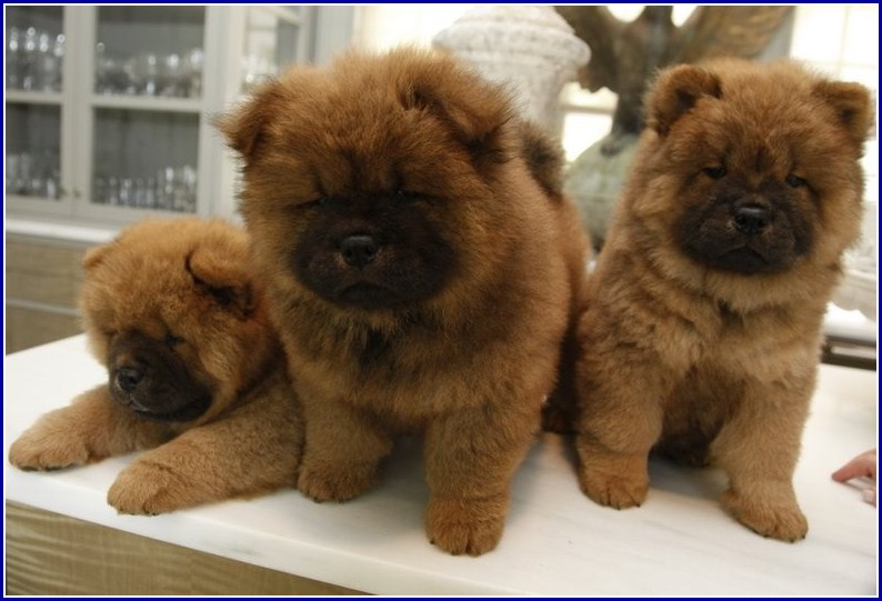Chow Dog Breeders