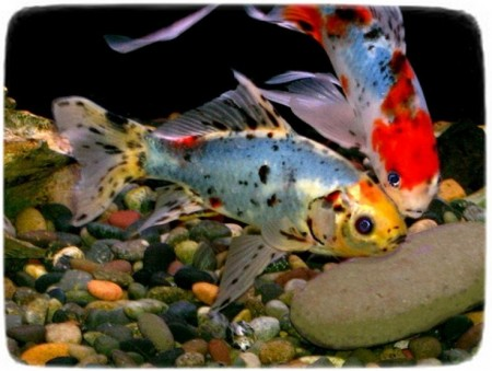 Cold Water Fish Pets At Home
