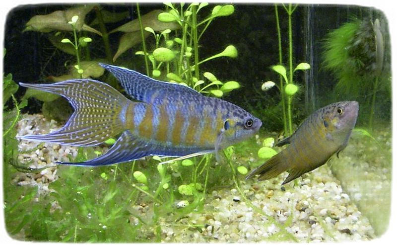 Cold Water Fish Tank Species