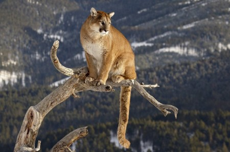 Cool Mountain Lion Pictures
