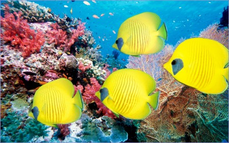 Coral Reef Fish Wallpaper