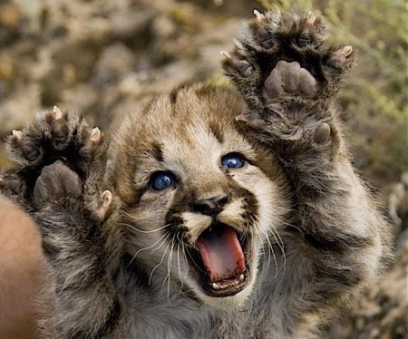 Cute Baby Mountain Lion