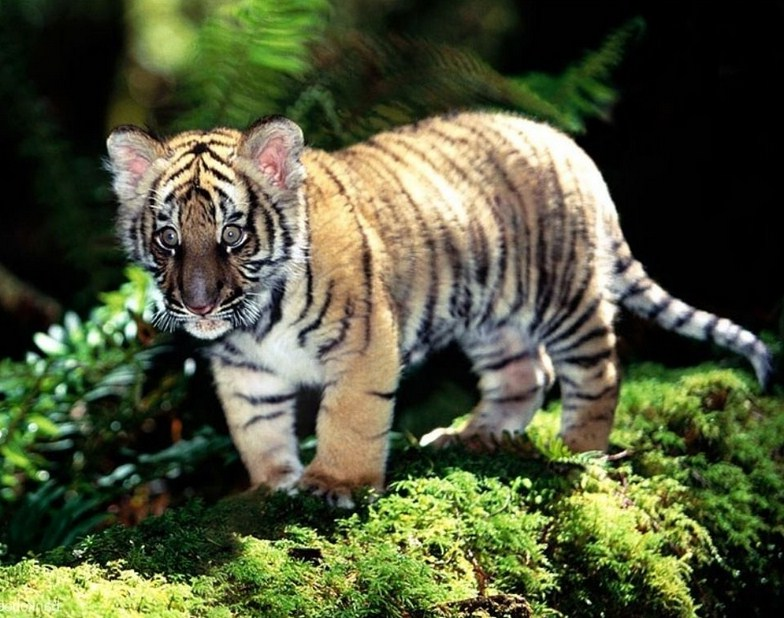 Cute Baby Tiger Pictures