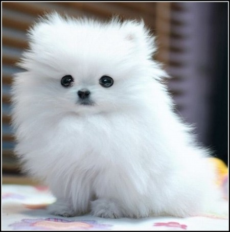 Cute Small White Dogs