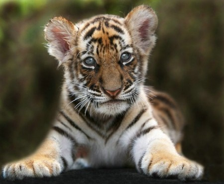 Cutest Baby Tiger Pictures