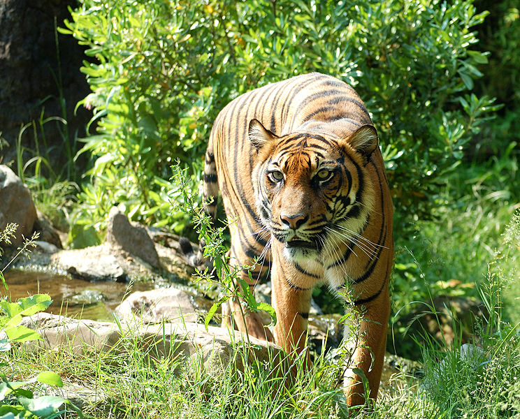 Different Types Of Tigers In The World