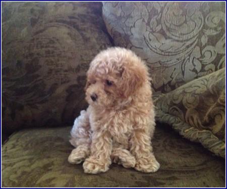 Dog Shih Tzu Bichon